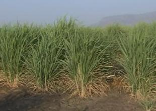 Image of Sugar Cane Plantation.